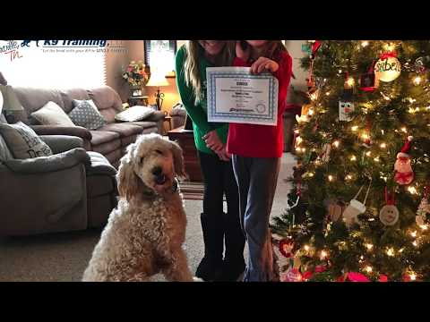 Jumping and Counter Surfing 1 year old Goldendoodle - Knoxville Dog Trainers