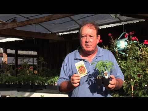 Growing Cherry Tomato Plants