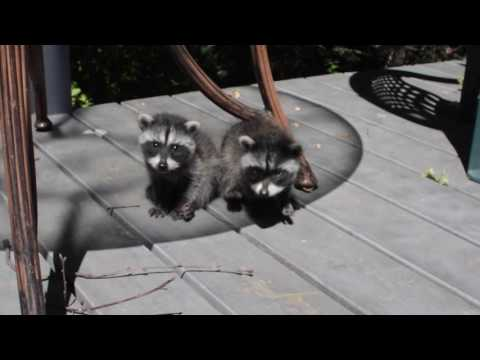 Baby raccoon purrs and cute sounds
