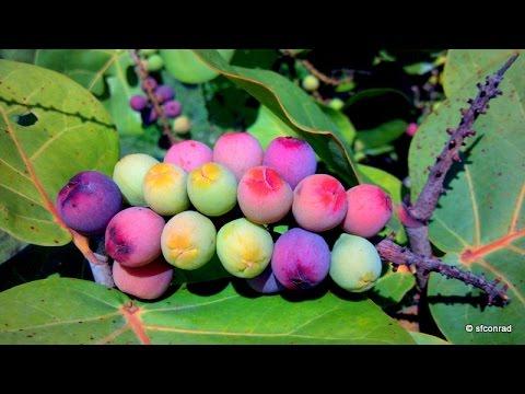 Florida East Coast Dune Edibles - Part 1 - Sea Grapes Are Everywhere!