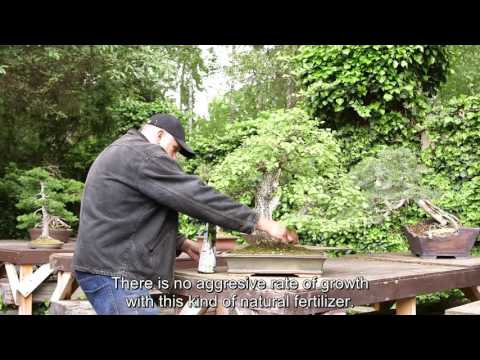 Fertilizing with Bonsai Master part one