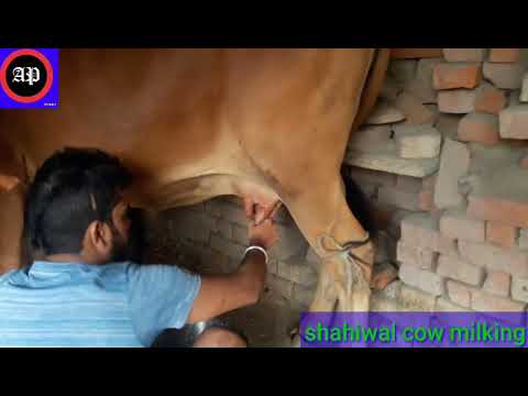 How to milk cows by hand by a village woman men / traditional way to milk cow