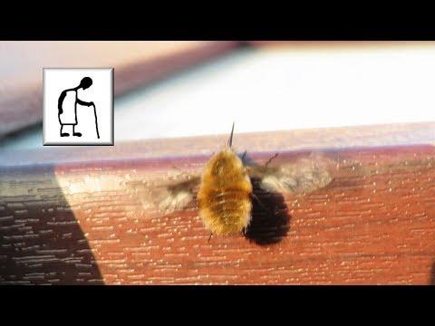Bombyliidae Bee Fly I think?