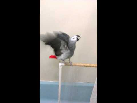 African Grey Peaty 2 weeks later loves Bath Time..