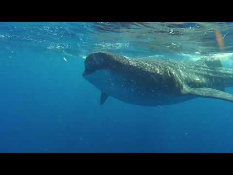 Scuba Life Cozumel Whale Shark and Manta Ray adventure