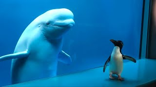 Whale Sees Penguin For First Time
