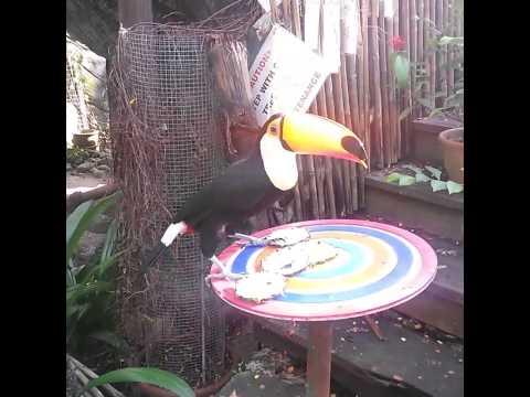 Toucan eats pineapple.
