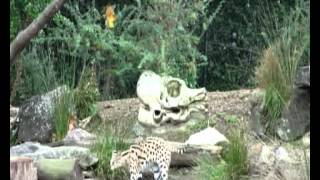 Serval catches Pigeon - Auckland Zoo (APR-2011).avi