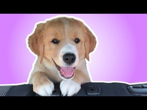 Golden Retriever Puppy's first year