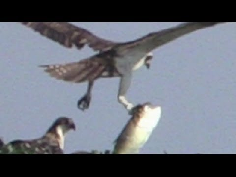 Osprey Catch of the Day at Jamaica Bay