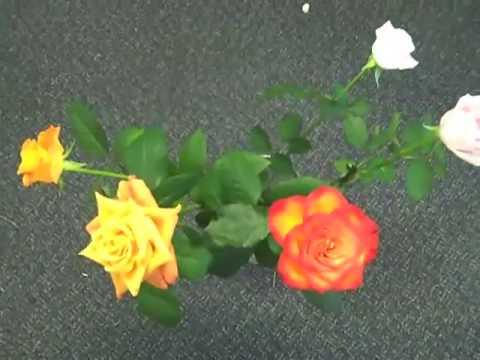 Eufloria Roses Live Forever!