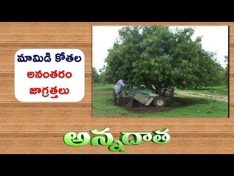 Mango Pruning & Fertilizers Management || EtvAnnadata