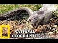 Download           Vengeance of Giant Python  - National Geographic  -  Found in Florida MP3,3GP,MP4