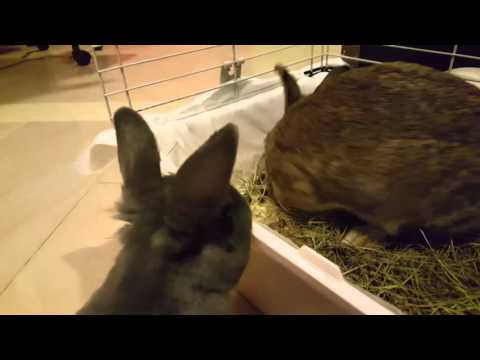 Angry Rabbit makes sounds