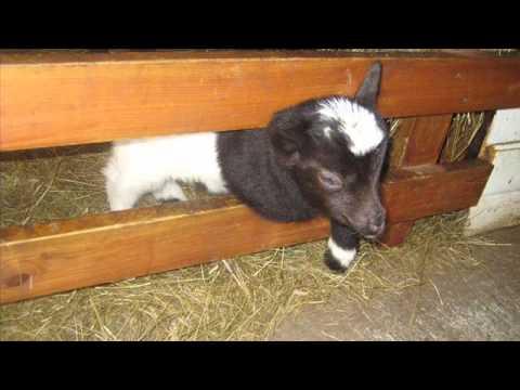 Hólmur - an Icelandic Farm Animal Zoo