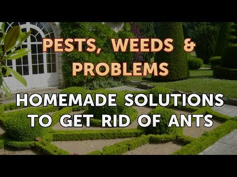 Homemade Solutions to Get Rid of Ants