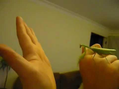 Pet Praying Mantis Flying