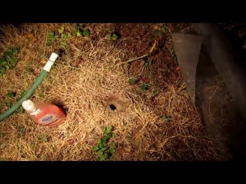 How to Destroy Wasp, Yellow Jacket Ground Nest Video - naturally using soap and water