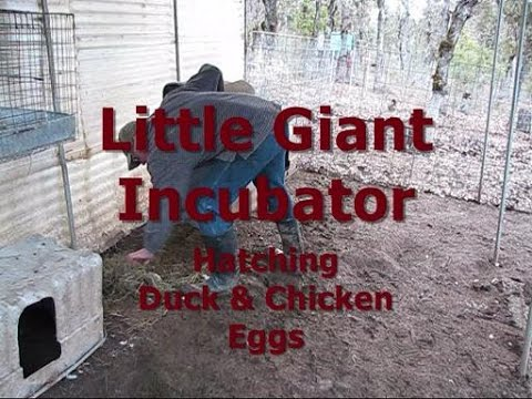 Little Giant Incubator - Hatching Duck & Chicken Eggs