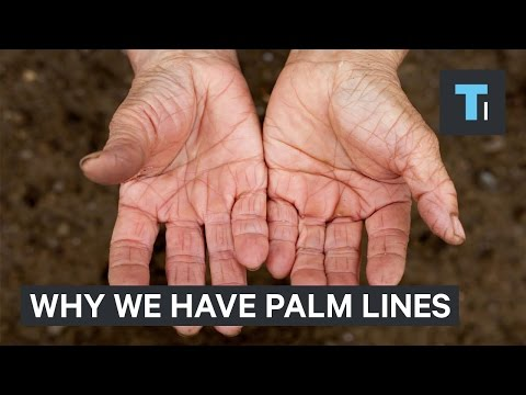 The real reason why we have palm lines