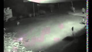 Shocking footage - CCTV captured Tiger attacking dog in Dehradun