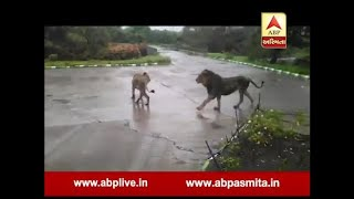 Lions Mating Next to the Road in gir