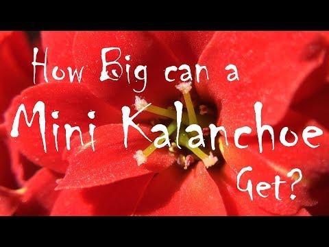 How Big can a Mini Kalanchoe Get?