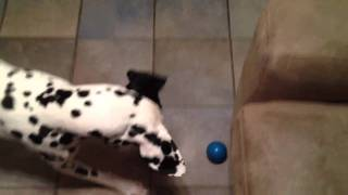Crazy Little Dalmatian Playing With A Talking Ball