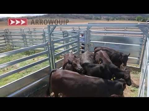 Cattle Forcing Yard - Arrowquip's Bud Box Demo