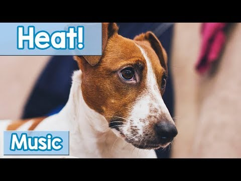 Music for Dogs in Heat! Soothing Music to Calm Your Stressed Dog in Season! Stop Anxiety and Pain!
