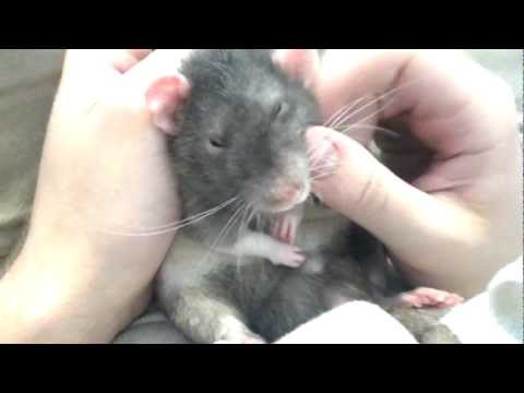 how to swoon a rat
