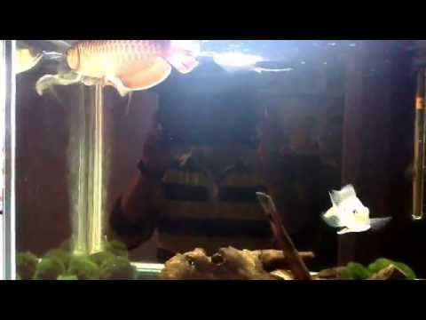 Motoro rays and asian arowana update! Loving the way rays swim!