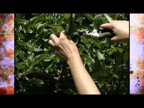 Summer Pruning of Espalier Apple Trees