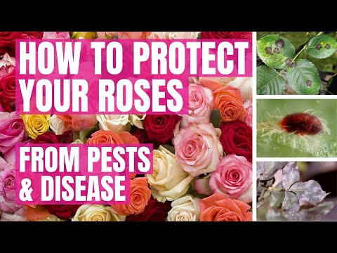 HEALTHIER ROSES: How To Protect Against Pests & Diseases... 'UNKNOWN GROWTH FACTOR'