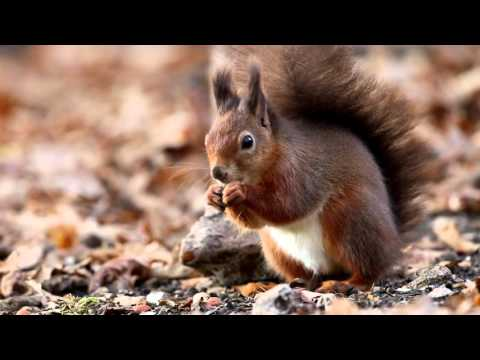 The Red Squirrels of Brownsea Island