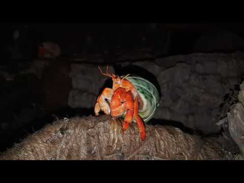 Strawberry Hermit Crab Cleaning Up