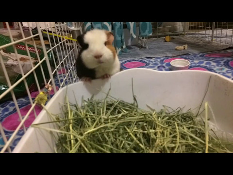 Guinea pig CandC cage Time lapse
