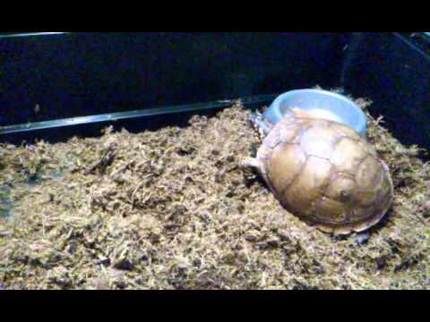Box turtle update, feeding and taming