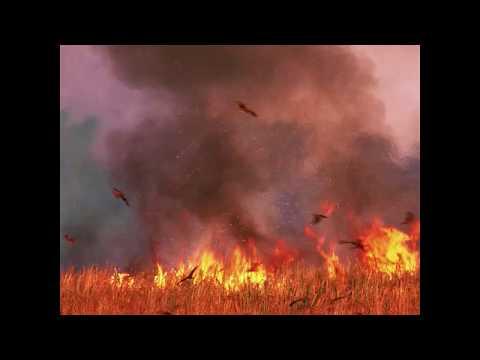 Birds of prey spread fires deliberately