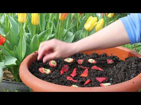 Planting Seeds From Store Bought Strawberries-Alpine Strawberry Update