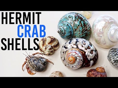 All About Hermit Crab Shells | Where To Buy? How To Choose?