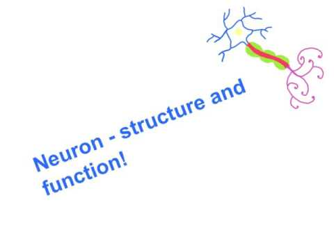 Neuron - structure and function