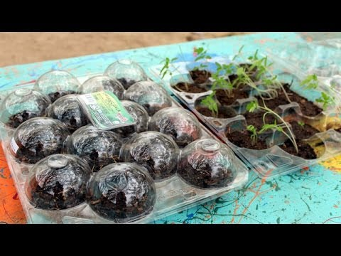 Clamshell Greenhouse for Tomato Seeds Starts! Free Homemade DIY Kit :)