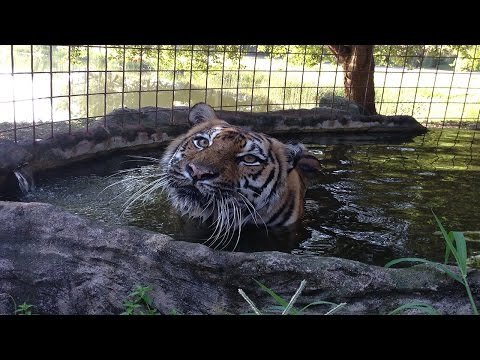 Beating The Summer Heat At Big Cat Rescue