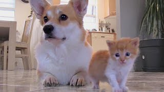 Corgi Adopts Kitten With Matching Fur After Losing Puppies in C-Section
