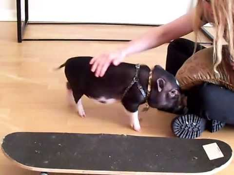 Mini Pig Tricks! (Prissy and Bomber Show)