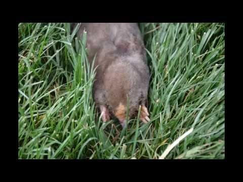 Mole Control in Lawns