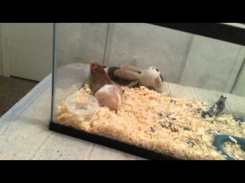 How hamsters mate
