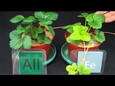 Strawberry Diagnostics: Iron Deficiency