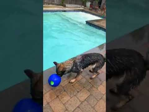 Swimming with dogs   Dogs in the Pool